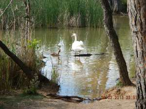 A Swan with her offspring in the Pantano de La Grajera outside of Logroño.