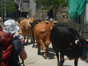 "Sue taking a picture of the bulls in  Padornelo. I affectionately like to call this picture, ""The Boys are Back in Town!"""