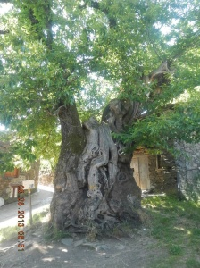A 800 year old tree